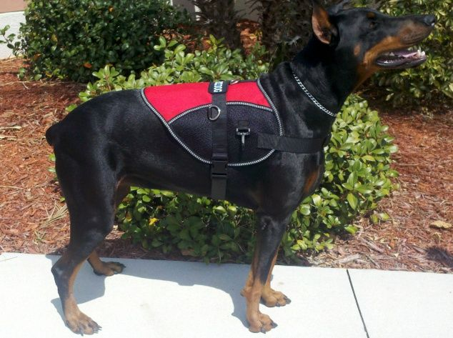My Doberman Showing Off Her New Service Dog Vest With Images