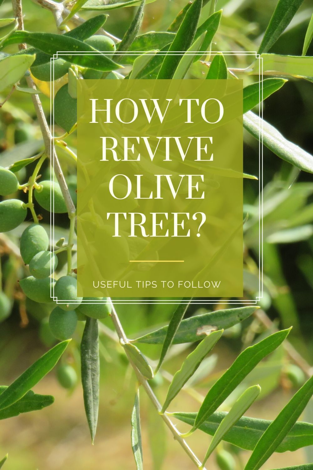Pin on Olive Tree in Pot