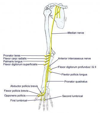 Median nerve. | Pin it | Pinterest | Median nerve
