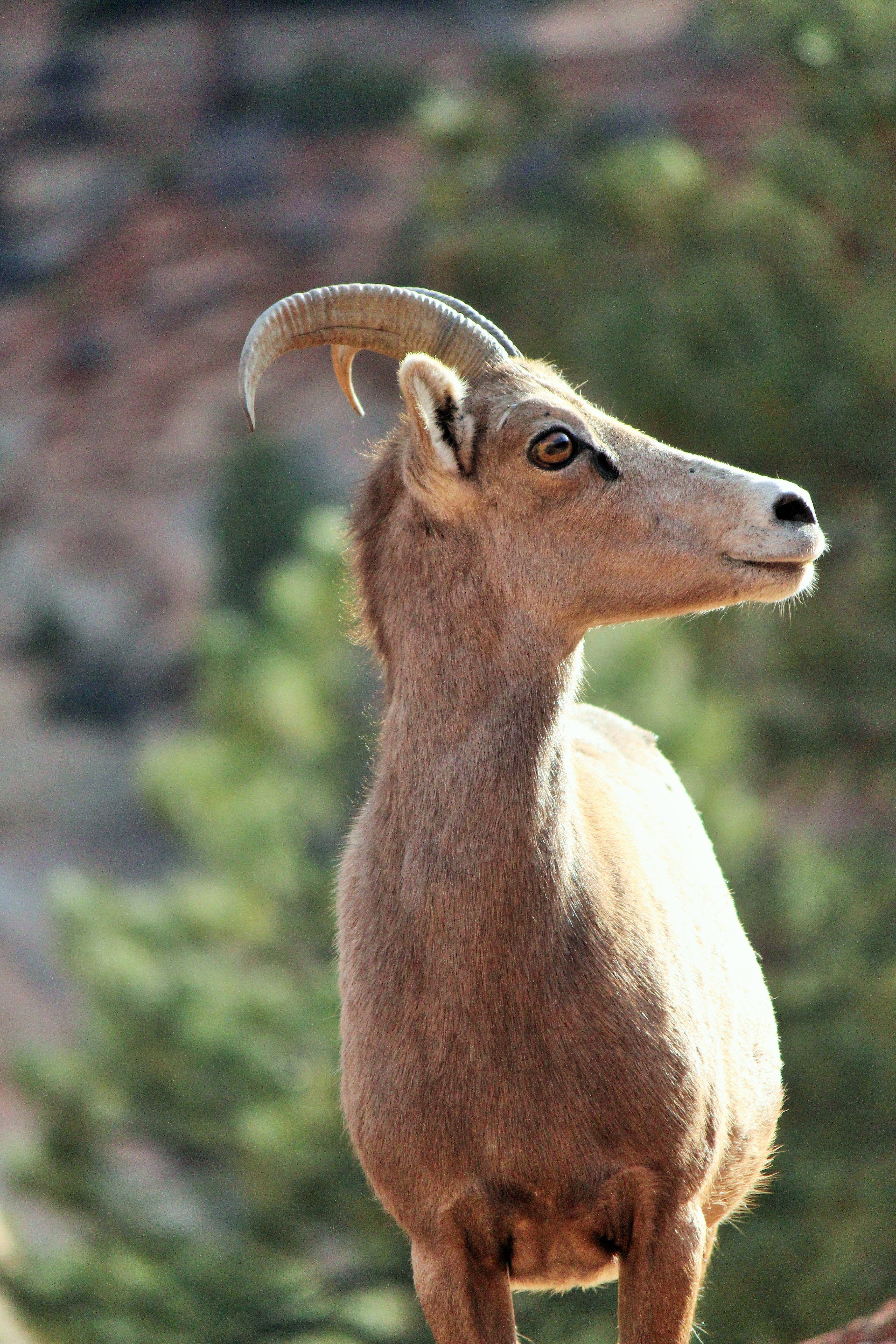 Sheep in Zion National Park