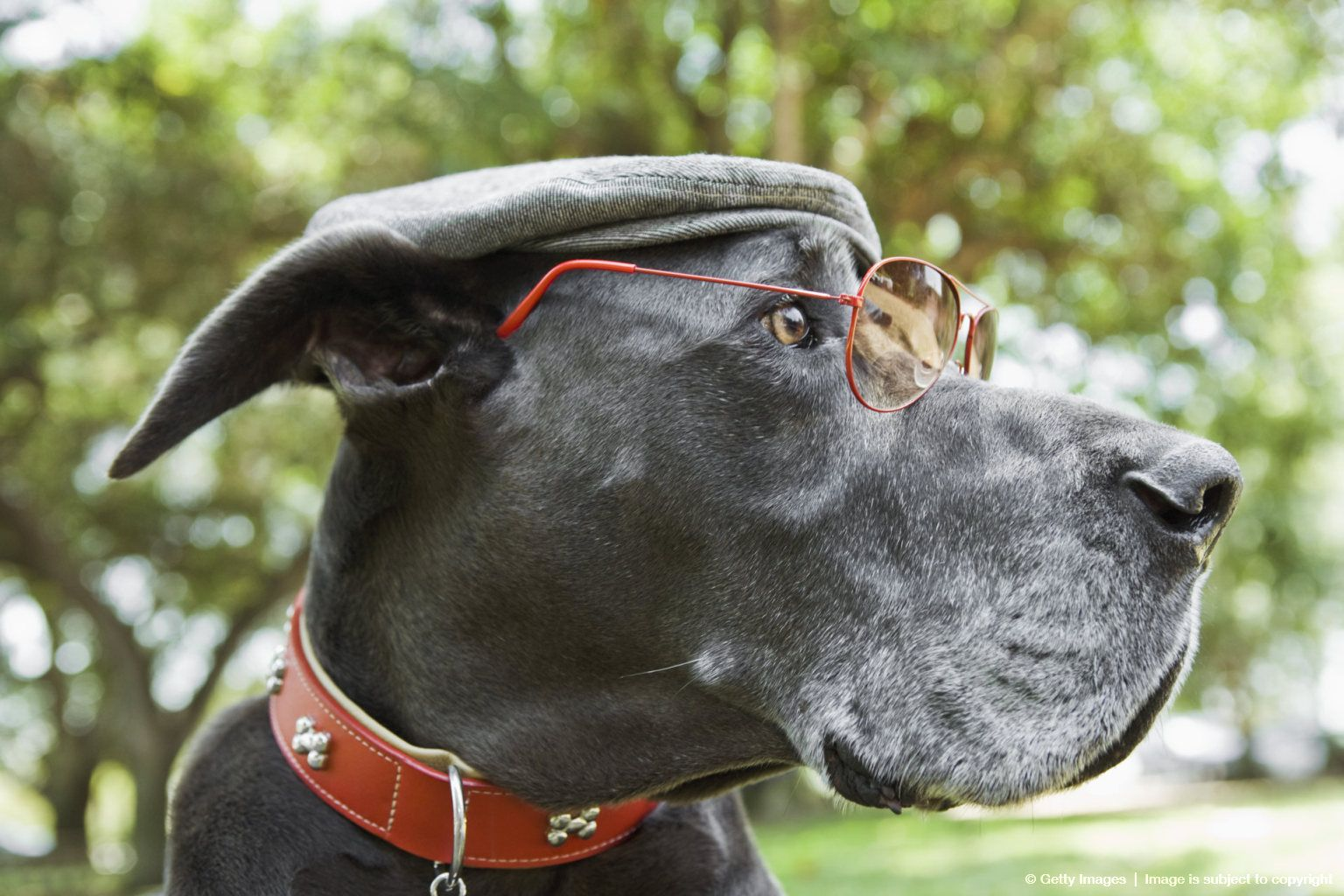 Side View Of Great Dane With Sunglasses Great Dane Best Dogs