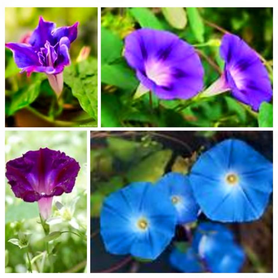 Morning Glory Meaning Affection Flower Beauty Nature Beauty Flowers