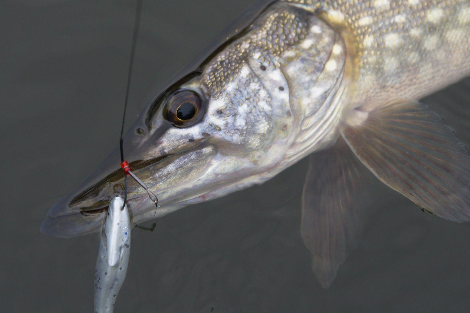 Fische Mit Zähnen