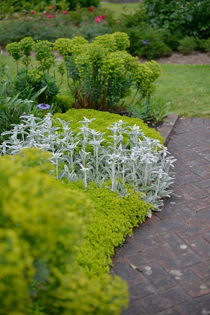 lammöron gulbladig kungsmynta