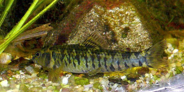 Checkerboard darter, Charicidium fasciatum
