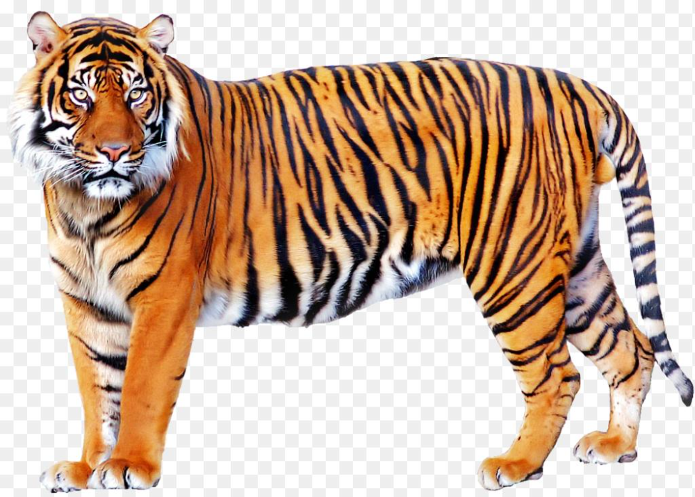 tiger mom png tiger png transparent images 1024*733