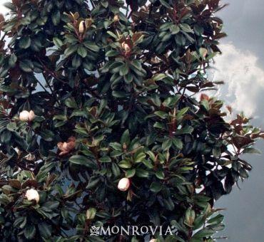 Teddy Bear Southern Magnoila Southern Magnolia Tree Southern Magnolia Teddy Bear Magnolia