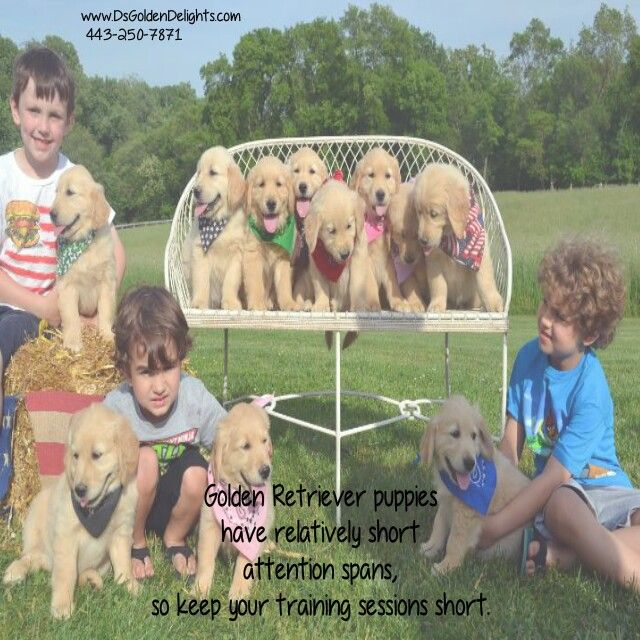 Golden Retriever Puppies Have Relatively Short Attention Spans So Keep Your Training Sessions Golden Retriever Golden Retriever Puppy Golden Retriever Breeder