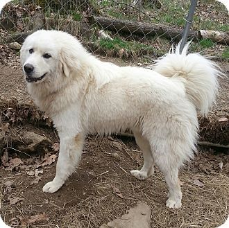 5 21 14 Croydon Nh Great Pyrenees Samoyed Mix Meet Nate A Dog