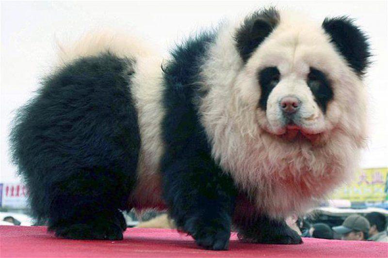 Panda Chow Chow Dog Panda Dog Panda Bear Cute Panda
