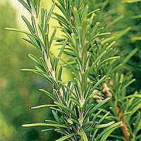 MALINALLI · herbolaria médica: ROMERO - Rosemary - Rosmarinus officinalis