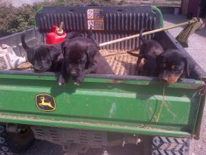 Abby Is Still Missing Dogs Rottweiler Losing A Dog