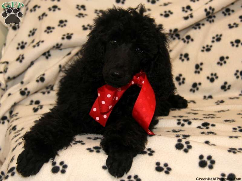 Caleb Standard Poodle Puppy For Sale In Pennsylvania Poodle