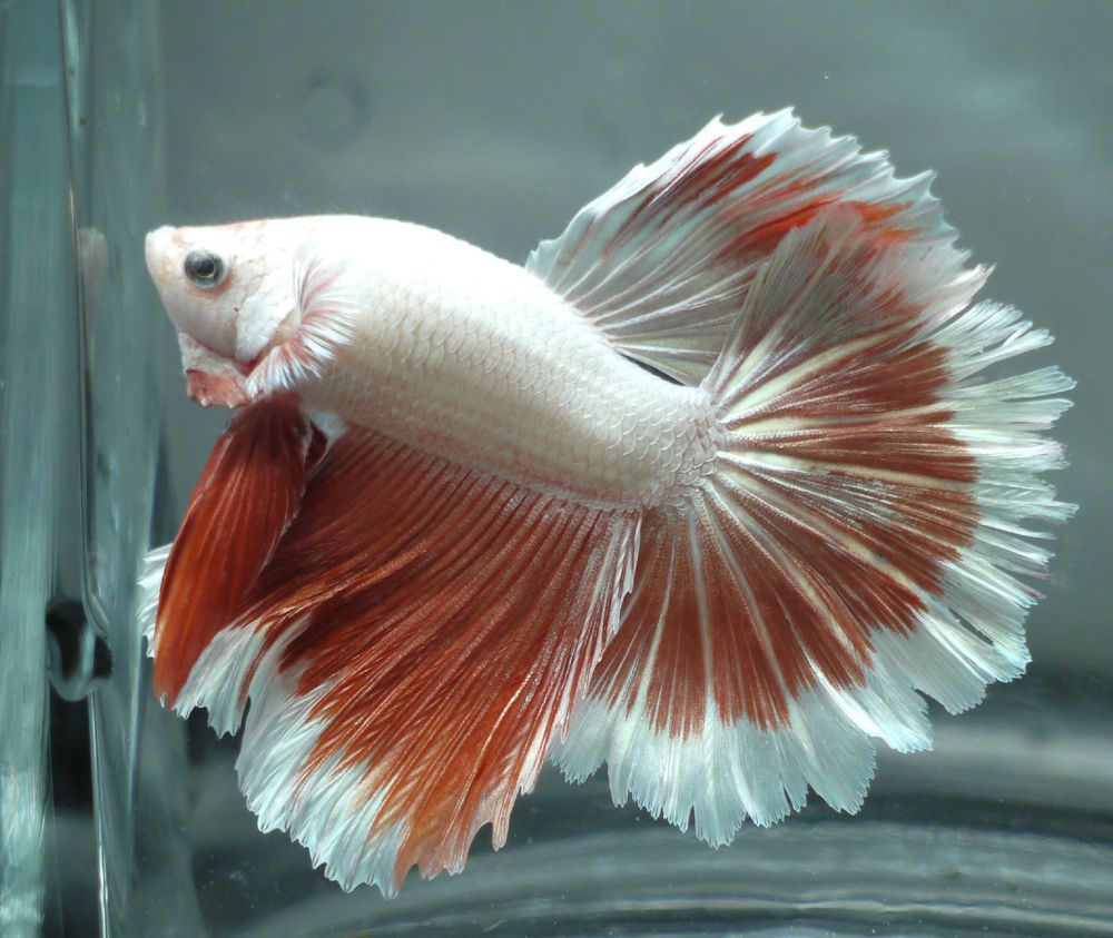live Tropical Fish-Platinum White red orange halfmoon ...