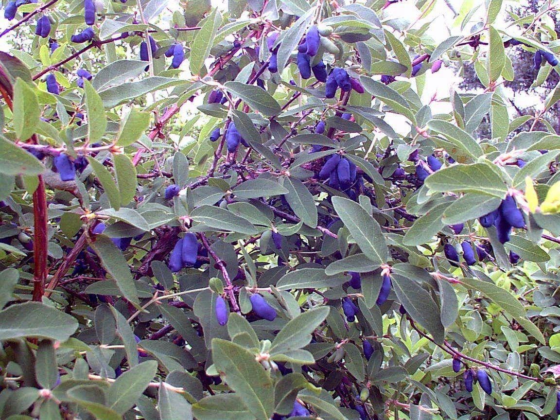 Haskap Jam Garden yard ideas, Garden