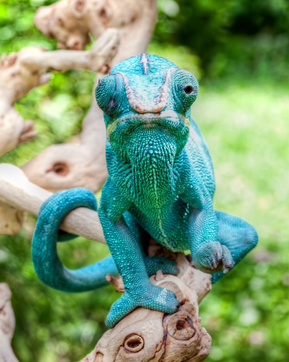 Red, green, blue no problem. I can do them all for you - Chameleon