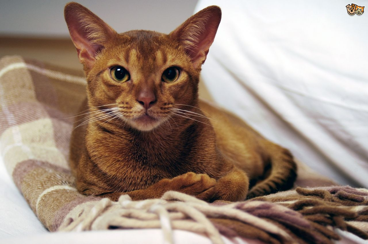 Abyssinian Cat Breed Cat breeds, Abyssinian, Cats