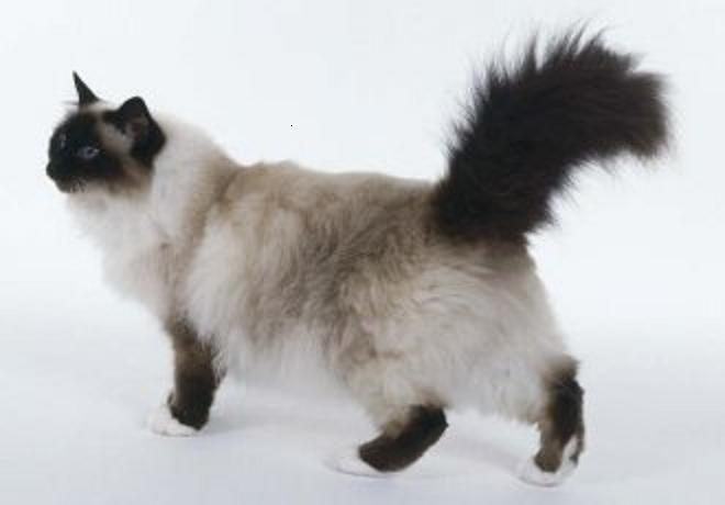 Kot Birmański Koty Pinterest Cats Cat Breeds I Birman Cat