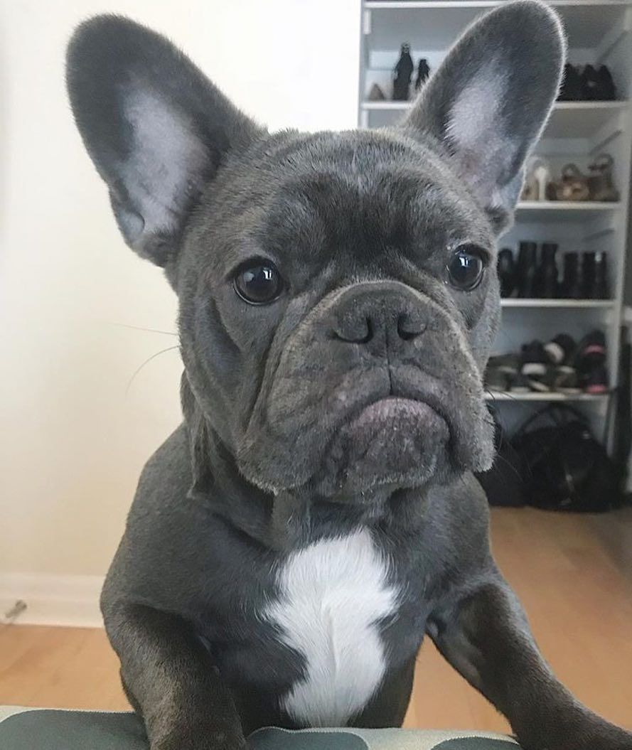 When do you go home in french bulldog puppy