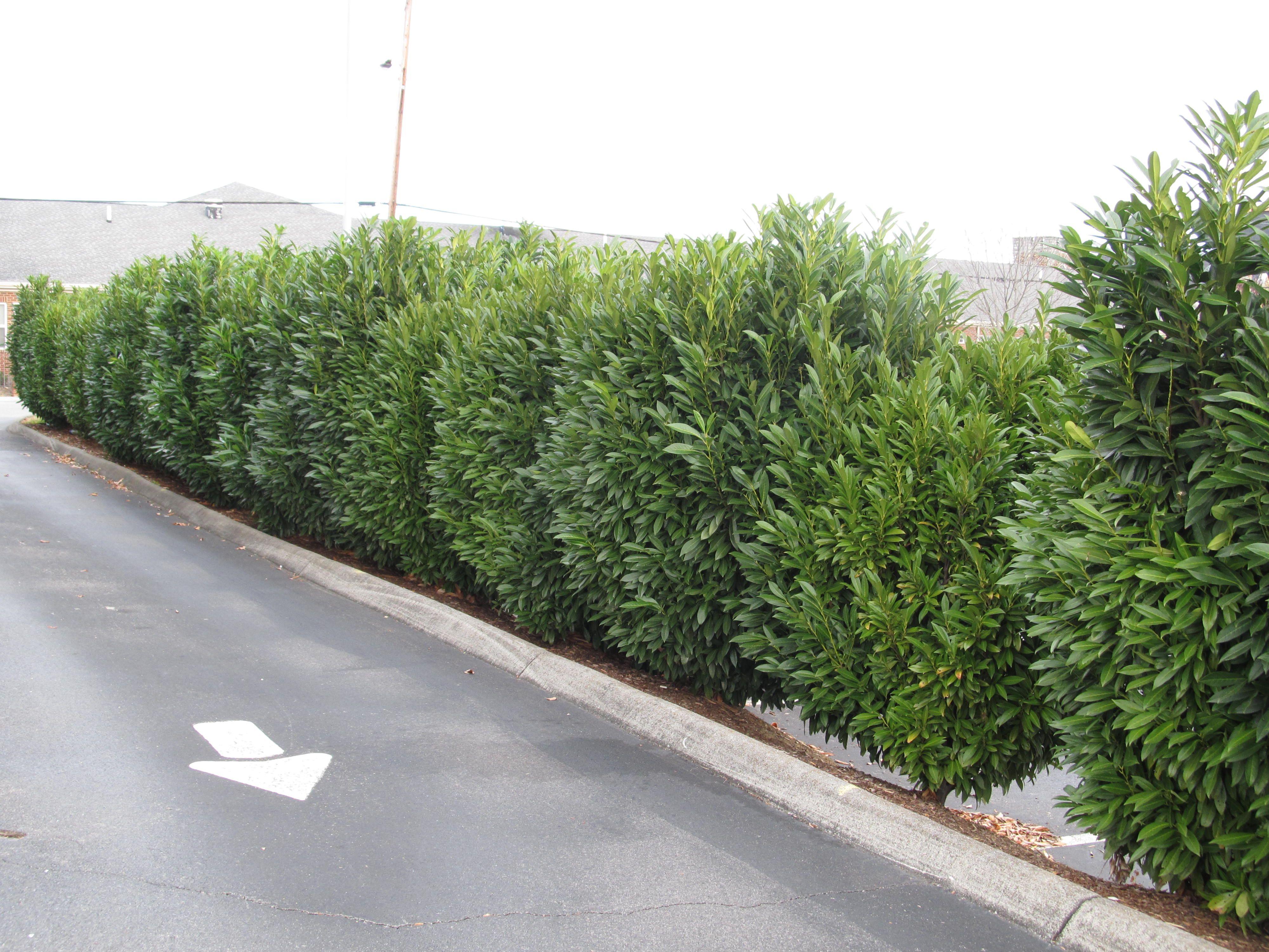 skip laurel for fence line gardens pinterest schip laurel