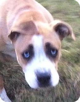 Chattanooga, TN - Boxer/Labrador Retriever Mix. Meet Margo, a dog for adoption. http://www.adoptapet.com/pet/11881489-chattanooga-tennessee-boxer-mix