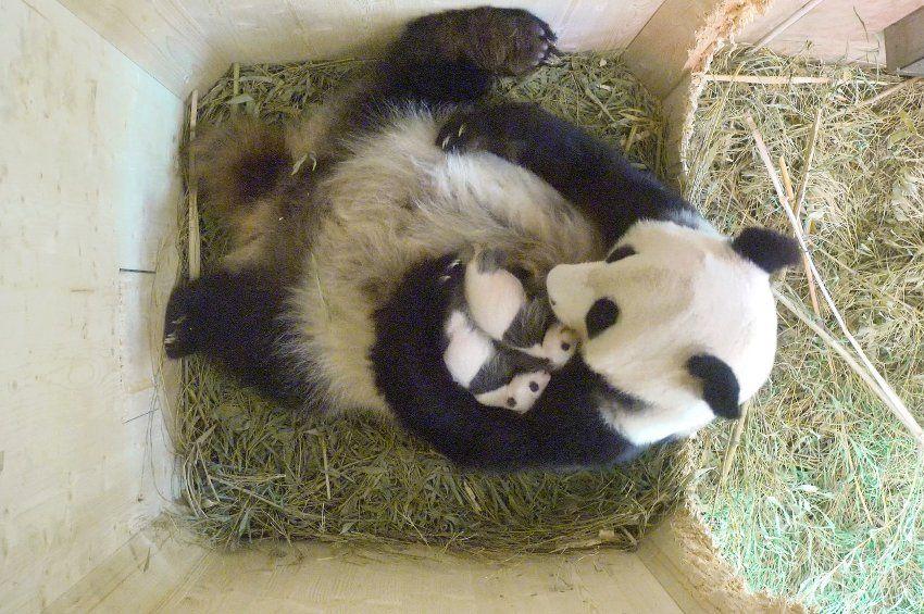 Panda-Zwillinge in Wien: Ein Mädchen und ein Junge für Yang Yang ...