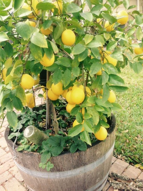 dwarf lemon to be planted in existing barrel with citrus potting mix  fed every 3 months with