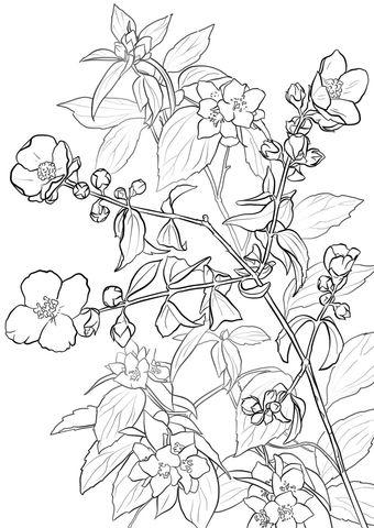 Falso Lewis Naranja o Syringa Dibujo para colorear   SHIPIBO ...
