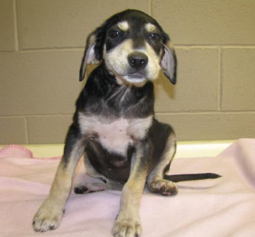 Black and Tan Coonhound mix M 2 months named Earl in ...