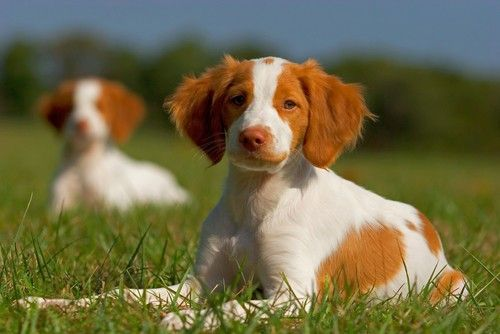 The Brittany Is A Hunting Dog With A Beautiful Face And A Beautiful Personality My Favorite Dog Ever Perf Brittany Dog Brittany Puppies Brittany Spaniel Dogs