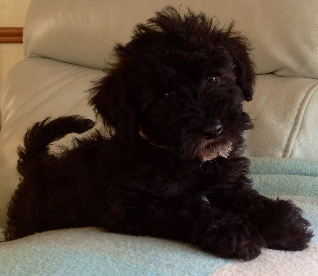 Parti Schnoodle Puppy Bury St Edmunds Suffolk Pets4homes Schnoodle Puppy Schnoodle Miniature Poodle Haircuts