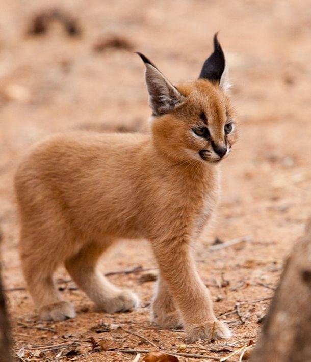 A bolygó legszebb és legszebb macskái vad Caracalt