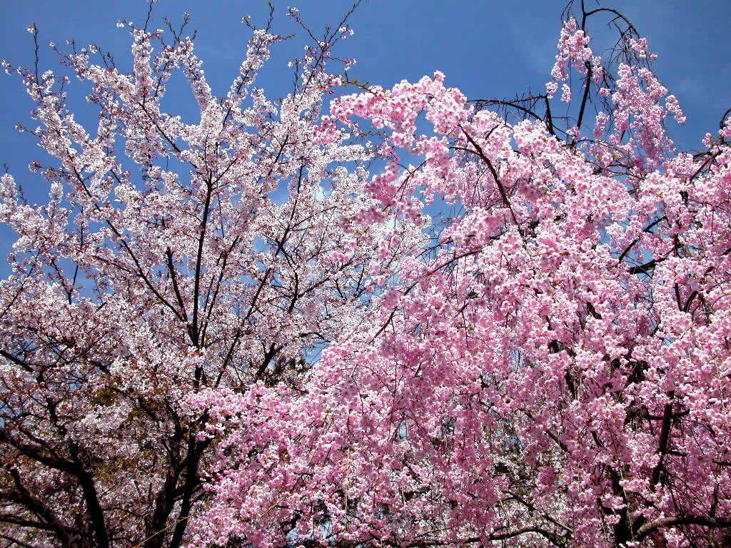 Romantic Cherry Blossom 2307 Romantic Cherry Blossom Flowers Peach Trees Cherry Blossom Tour Photo Tree