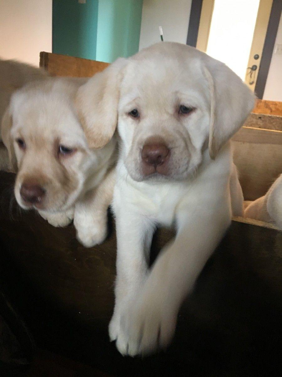 Labrador Retriever Puppies For Sale Cincinnati Oh Labrador