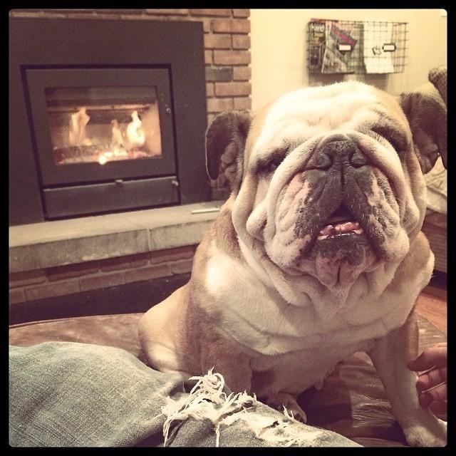 Adopt Loretta Lulu On Dogs Bulldog Puppies French Bulldog