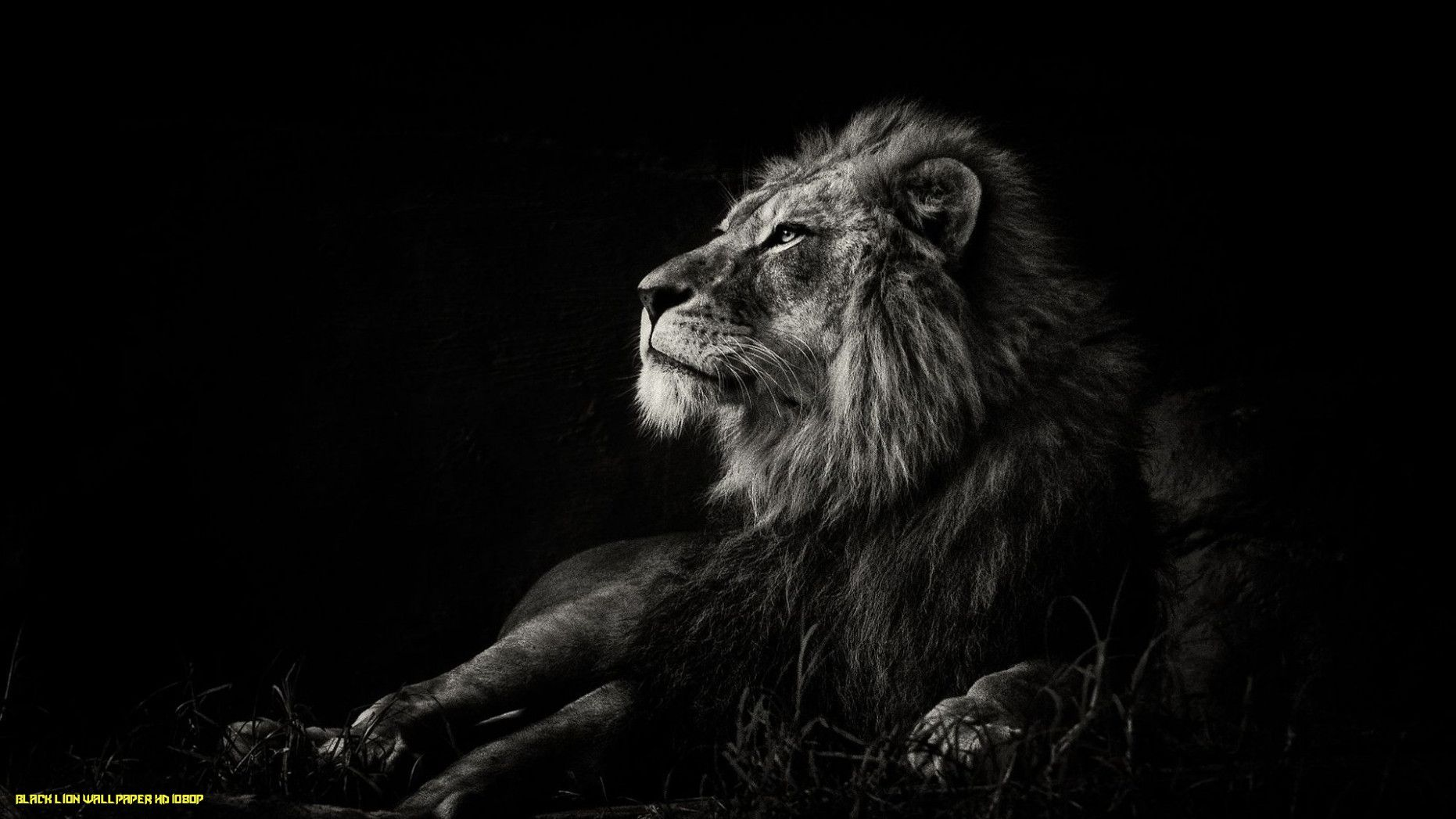 Lion Iphone Android Iphone Desktop Hd Backgrounds Wallpapers 1080p 4k 124816 Hdwallpapers Androidwal Lion Images Lion Wallpaper Lion Hd Wallpaper