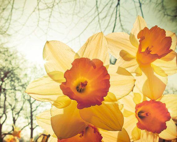Yellow Daffodil Flower Photography Peaches And Cream Citrus Lemon Yellow Orange Narcissus London England Spring Avocado Green Spring Flowers Photography Daffodil Photography Flowers Photography