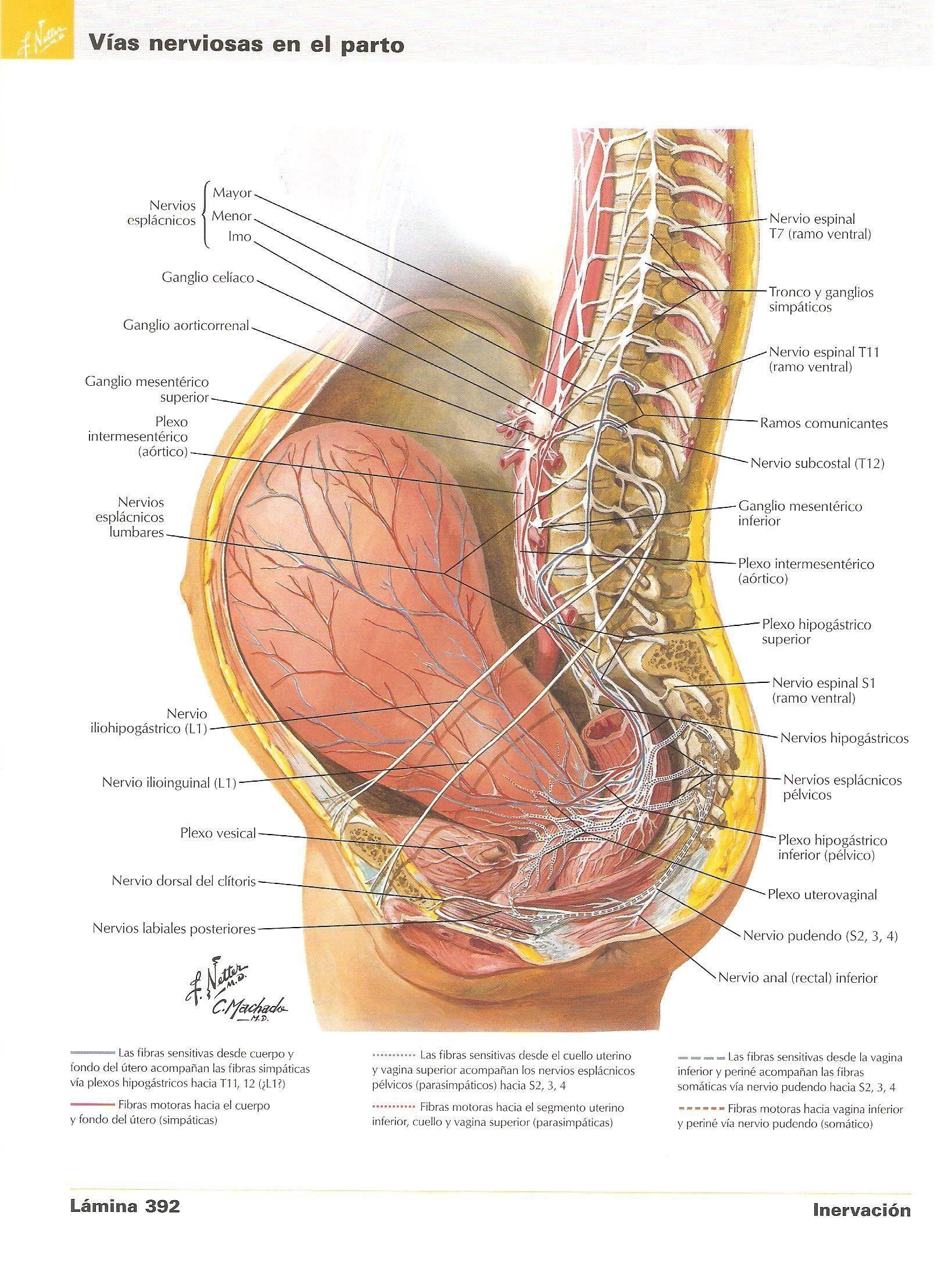 Único Segmento Inferior Anatomía Uterina Colección de Imágenes ...