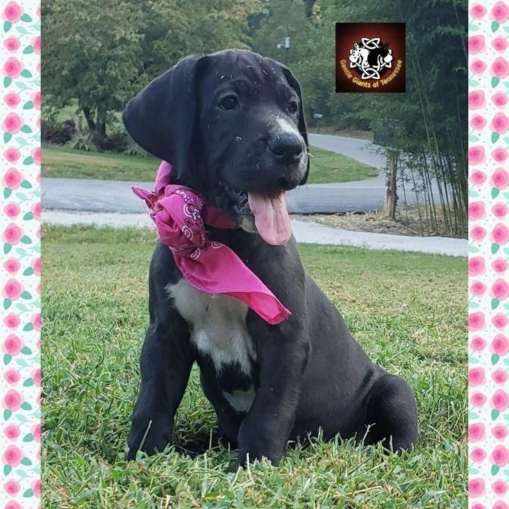greatdane greatdanepuppies puppy Collar Female Pink
