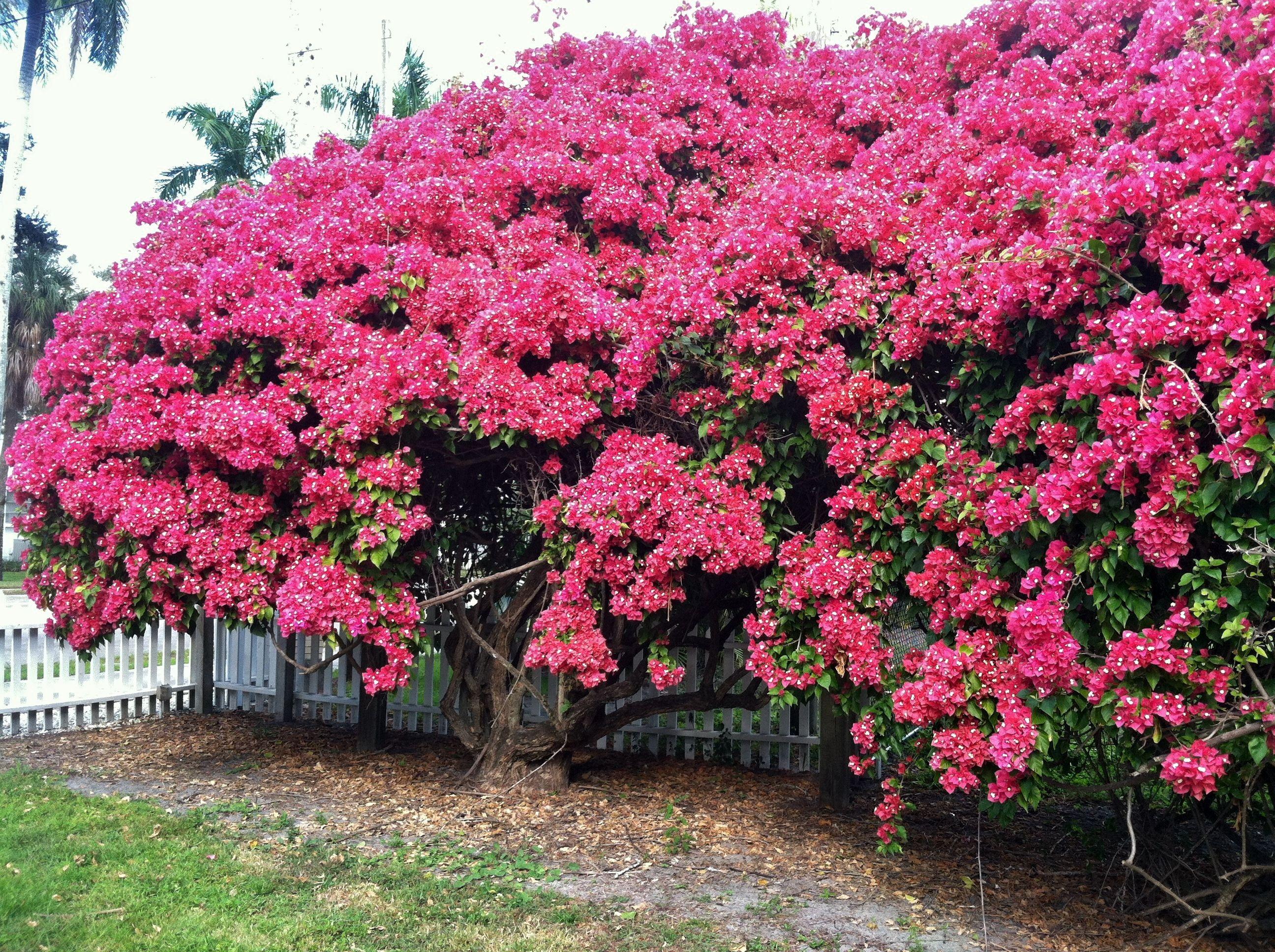Bougainvillea Hedge