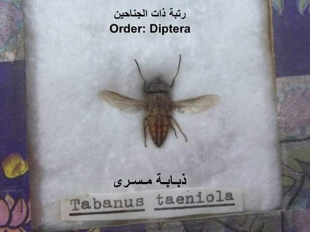 ذبابة مسري Moth Animals Insects