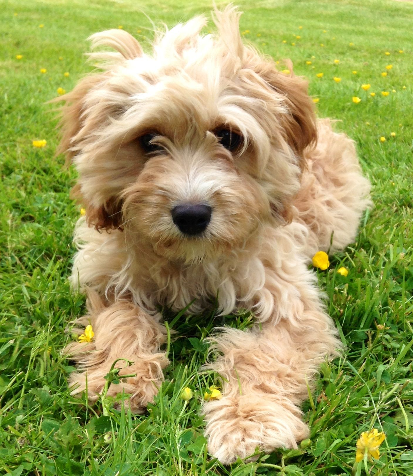 My Gorgeous Cavapoo Milo With Images Cute Dog Mixes Cavapoo