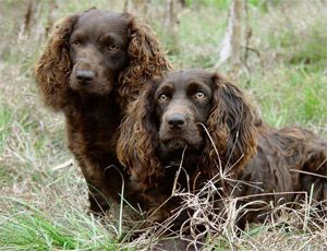 Boykin Spaniels Spaniel Breeds Boykin Spaniel Beautiful Dogs