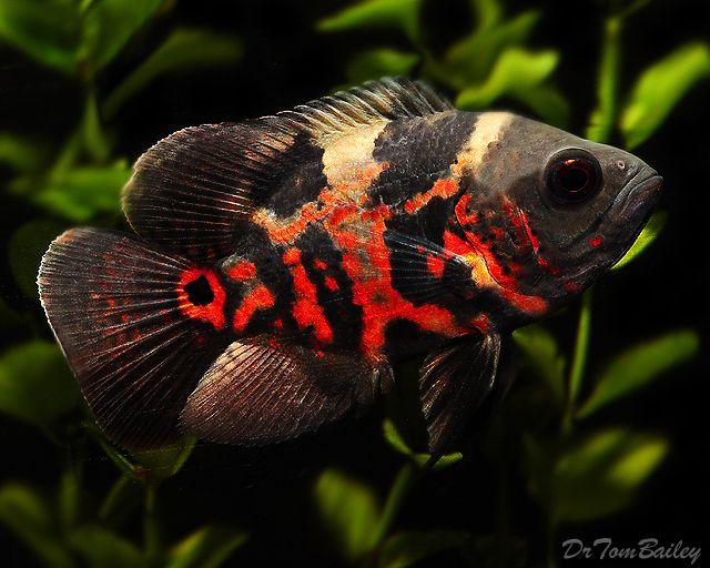 http://www.aquariumfish.net/images_01/tiger_oscar_110922b2_0640.jpg