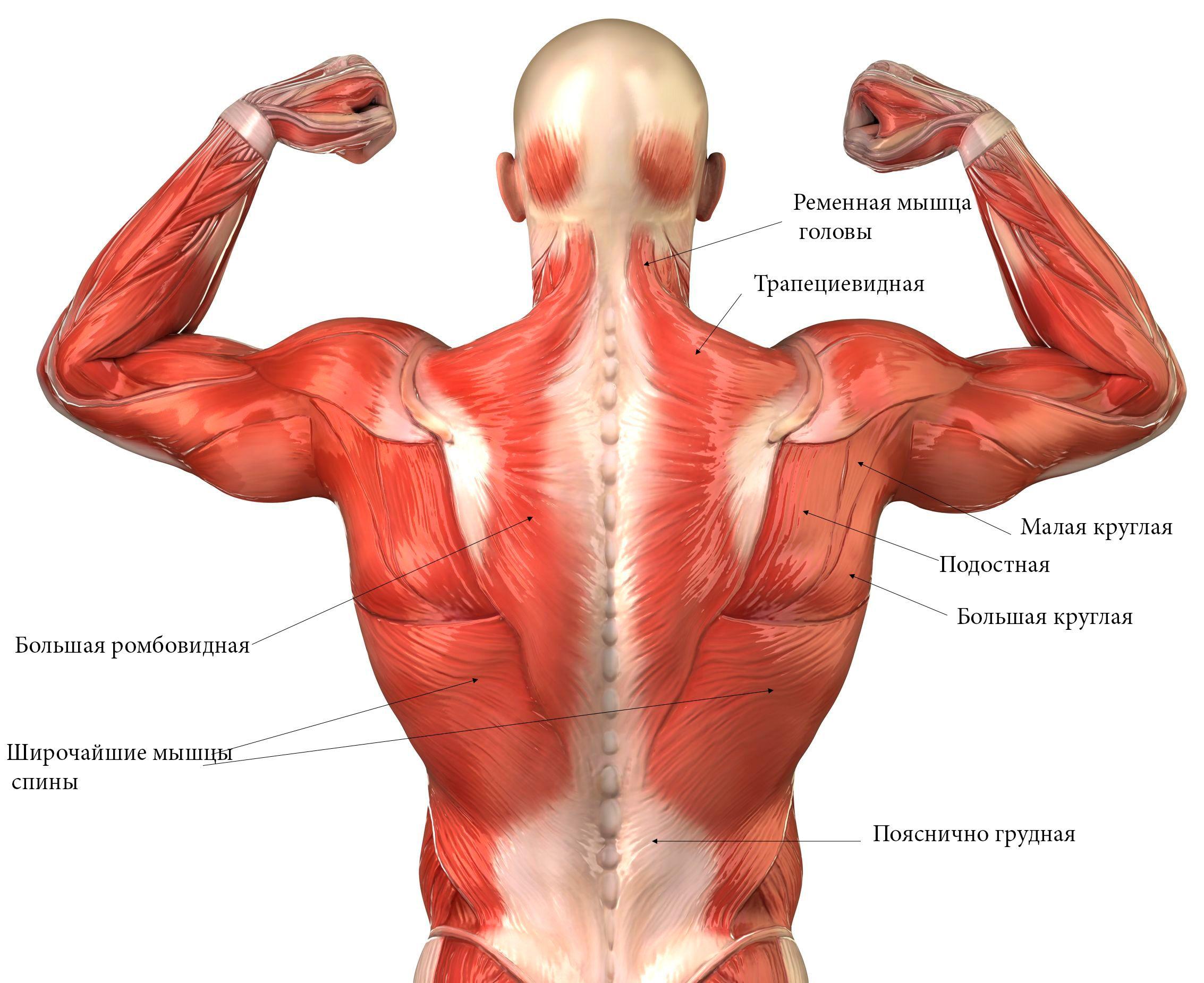 спина - Поиск в Google | Anatomy | Pinterest