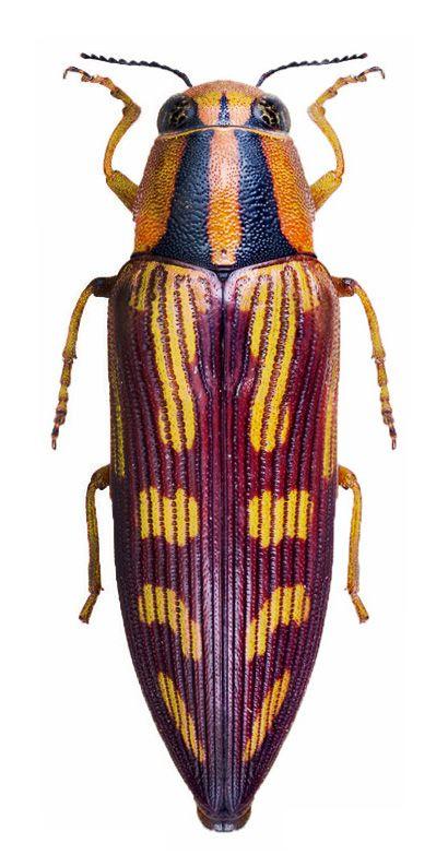 Diadoxus erichsoni