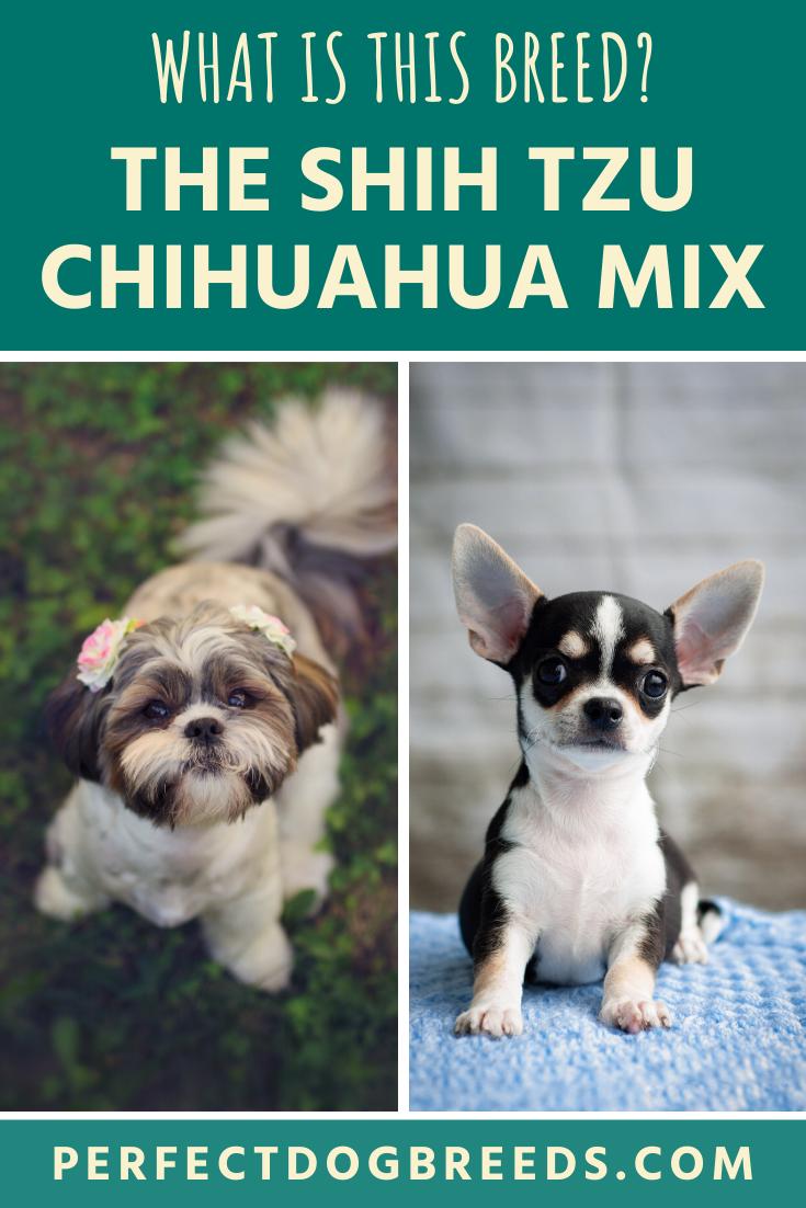 What Is A Shih Tzu Chihuahua Mix In 2020 Chihuahua Mix Chihuahua Shih Tzu