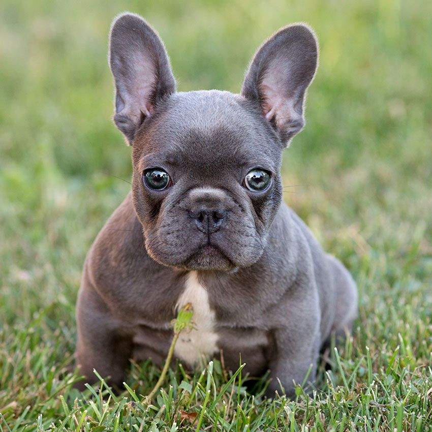 Our Breeding Bulldog Breeds French Bulldog Breed French