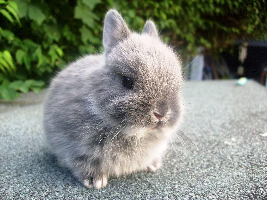 The example of rabbit breeds : Netherland Dwarf ...