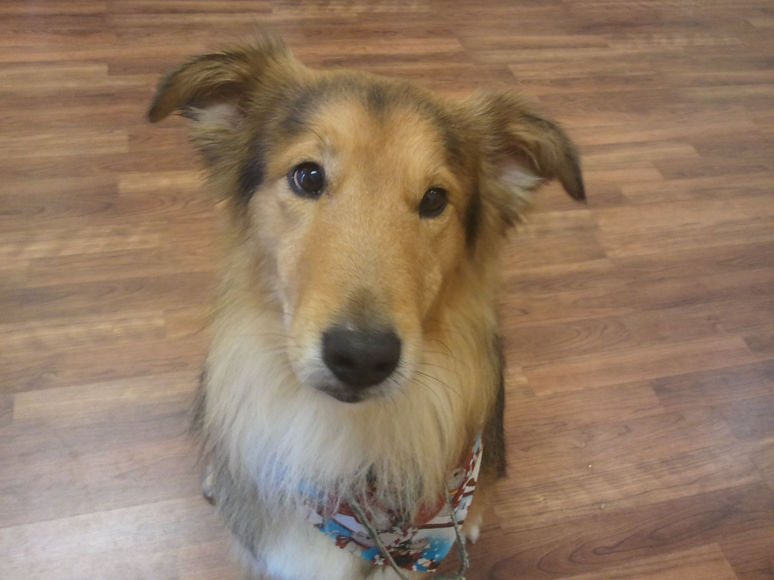 Collie Mix Rescue Collie Mix Pet Grooming Collie